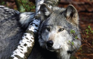 lakotwolf2